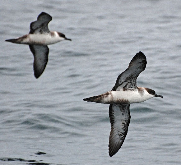 Great Shearwaters on the Cape Town Pelagics trip of 11 October 2008 © Martin Potgieter