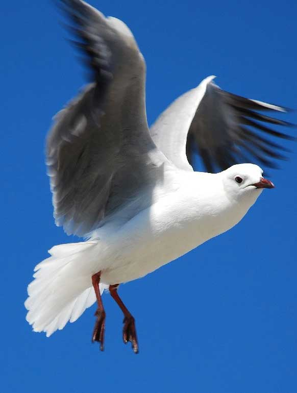Hartlaub's Gull on the Cape Town Pelagics trip of 11 October 2008 © Martin Potgieter