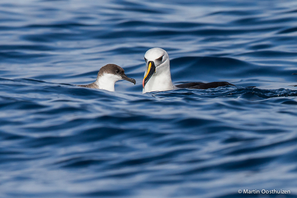 Atlantic Yellow-nosed Albatross © Martin Oosthuizen on a Cape Town Pelagics trip