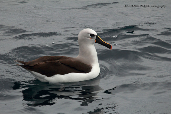 Atlantic yellow-nosed Albatross during a Cape Town Pelagics trip © Lourance Klose