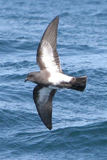Black-belied Storm Petrel on a Cape Town Pelagics Trip (c) Barrie Rose