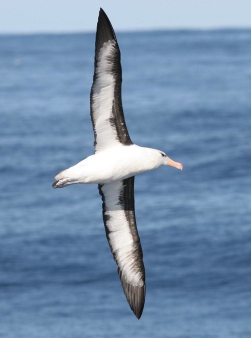 Black-browed Albatross on a Cape Town Pelagics trip (c) Barrie Rose