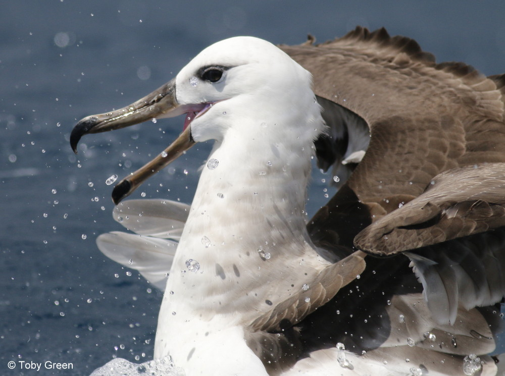 Black-browed Albatross (immature) © Toby Green
