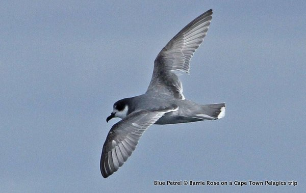 Blue Petrel - seen during the Cape Town Pelagics trip of 2 September 2012 © Barrie Rose