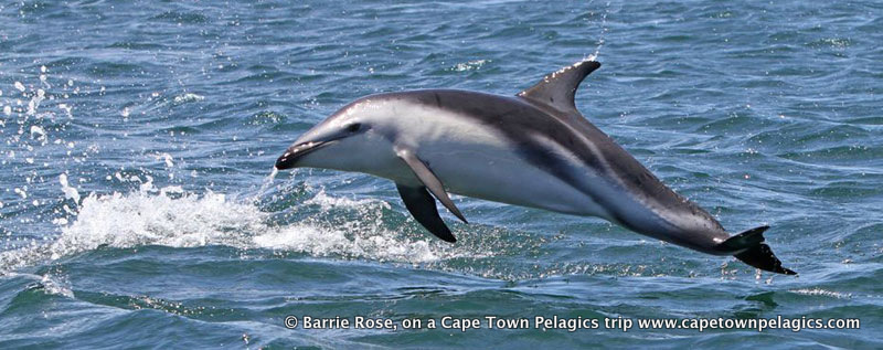 Dusky Dolphin seen on Cape Town Pelagics trips in May and January 2010 © Barrie Rose.