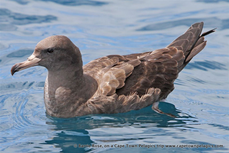 Flesh-footed Shearwater, a local rarity, seen on the Cape Town Pelagics trip of 23 January 2010, <em>© </em> Barrie Rose
