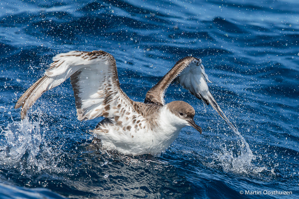 Great Shearwater © Martin Oosthuizen on a Cape Town Pelagics trip