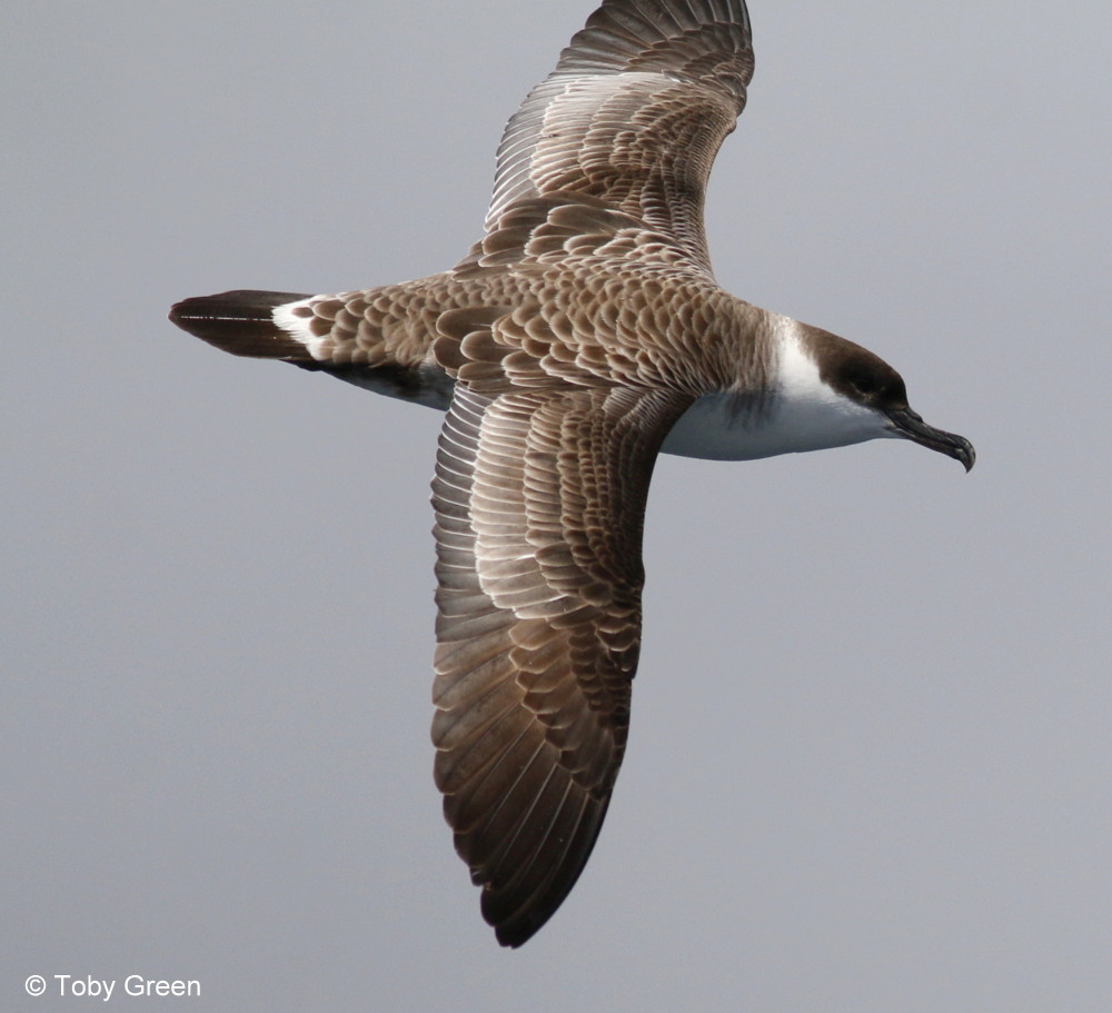 Great Shearwater © Toby Green