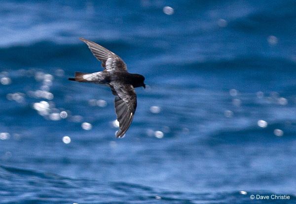 Grey-backed Storm Petrel photographed during a Cape Town Pelagics trip © Dave Christie
