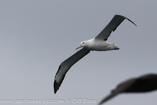 Northern Royal Albatross © Cliff Dorse