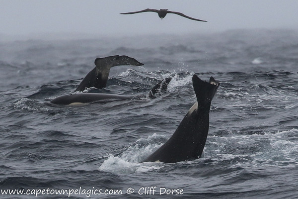Orcas during a Cape Town Pelagics trip © Cliff Dorse