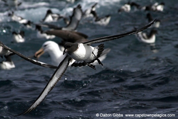 Pintado Petrel with a Black-browed Albatross in the background © Dalton Gibbs
