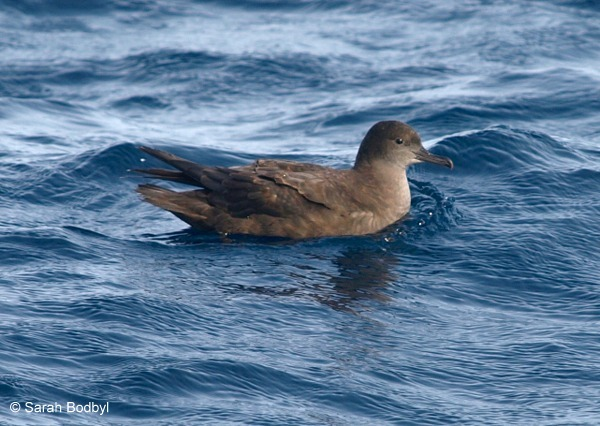 Sooty Shearwater © Sarah Bodbyl title=