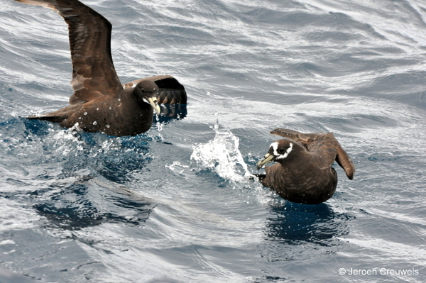 Spectacled Petrel with White-chinned Petrel © Jeroen Creuwels