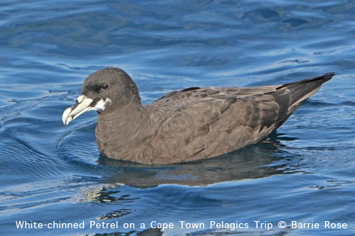 White-chinned Petrel on a Cape Town Pelagics trips in 2011 © Barrie Rose.