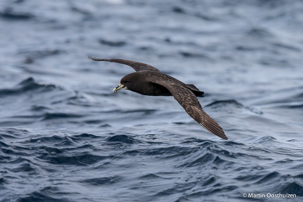 White-chinned Petrel © Martin Oosthuizen on a Cape Town Pelagics trip
