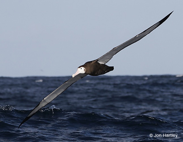 This juvenile Wandering Albatross was seen on Cape Town Pelagics trip of 12 February 2012 (c) Jon Hartley