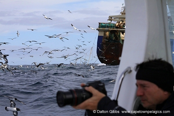 1000's of birds around our boat during a Cape Town Pelagics trip © Dalton Gibbs