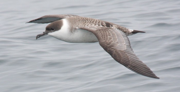 Great Shearwater on the Cape Town Pelagics trip of 11 October 2008 © Martin Potgieter