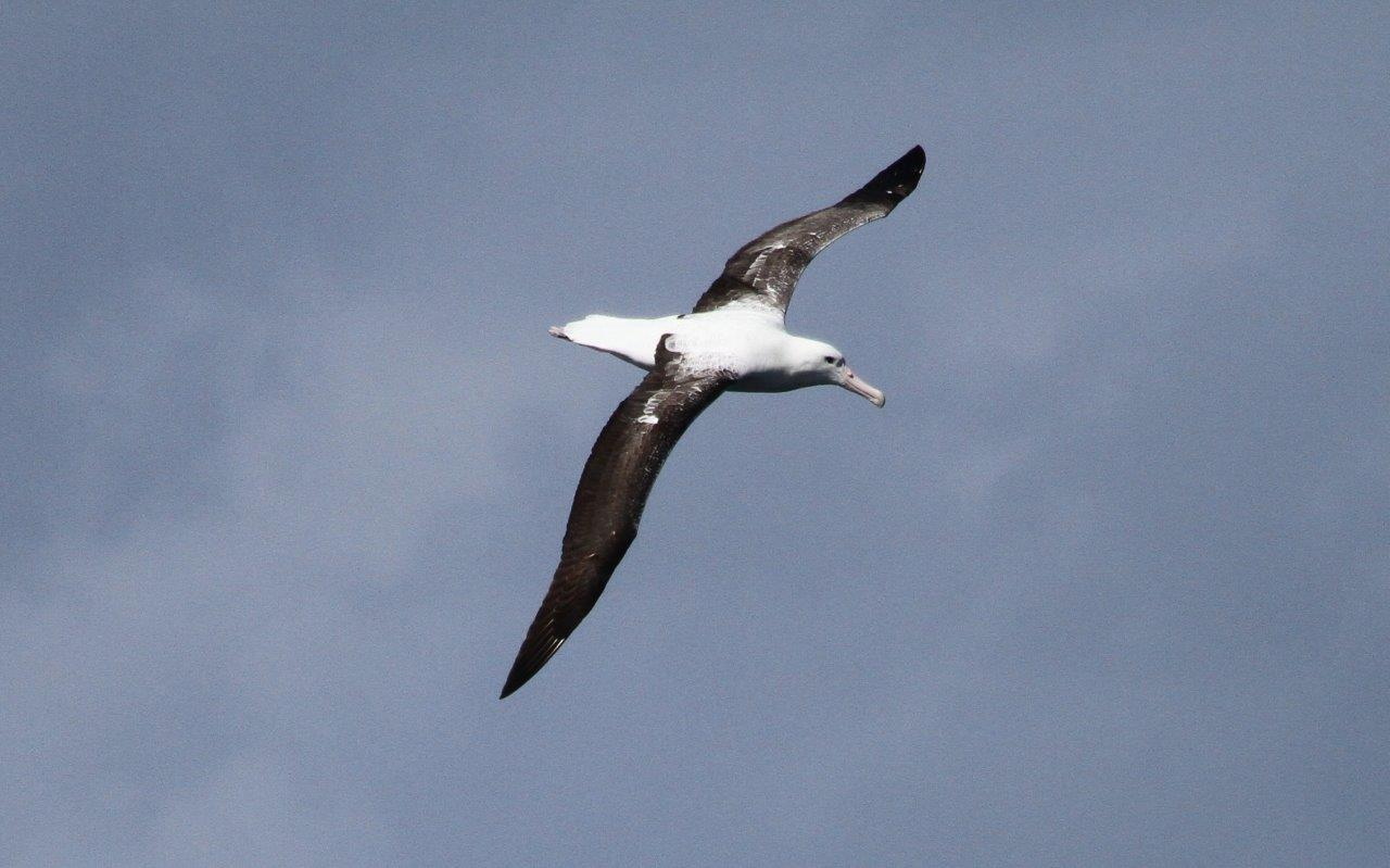 Southern Royal Albatross on a Cape Town Pelagics trip photographed by Cliff Dorse